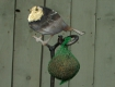 Robin Birdfeeder with Bronze Breast